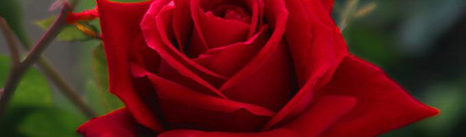 Roses Hurt